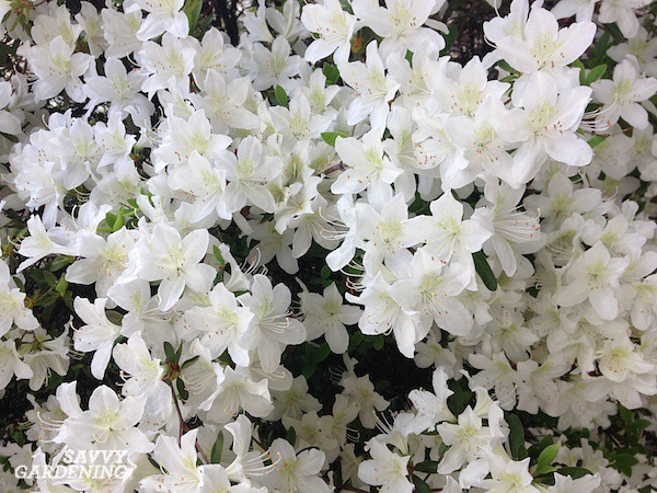 Flowering evergreen shrubs for shade