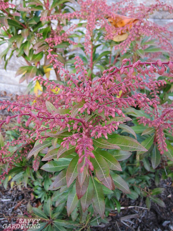 Spring-blooming shrubs for the shade