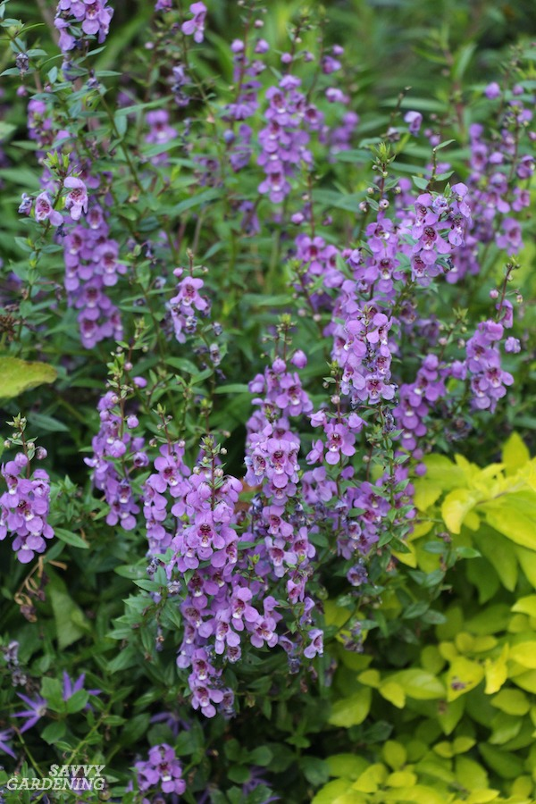 Angelonia is one of many annuals for gardens with deer.