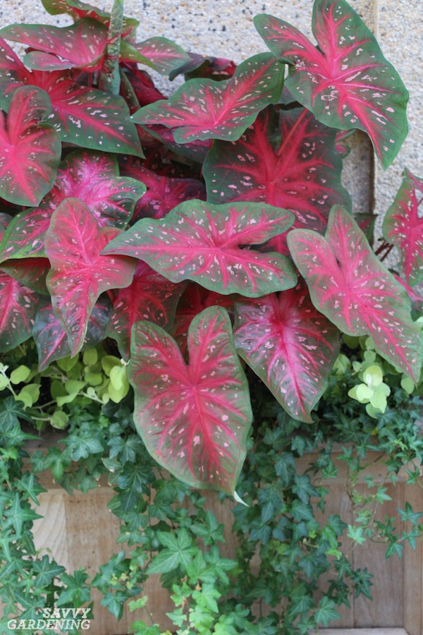 Caladiums offer color in deer-prone shade gardens.