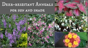 The best annual plants for gardens with deer.