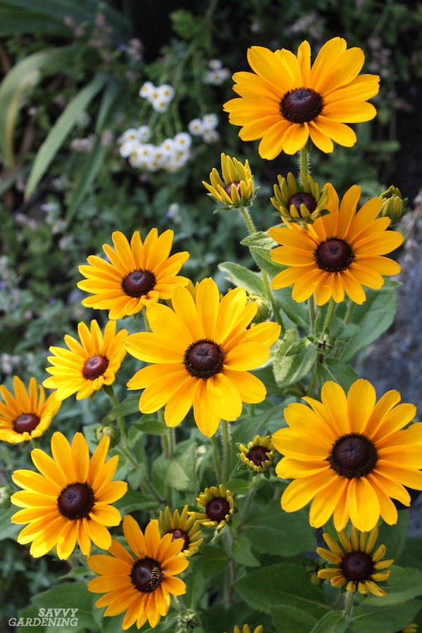 Annual black-eyed Susans are great for deer-plagued gardens.