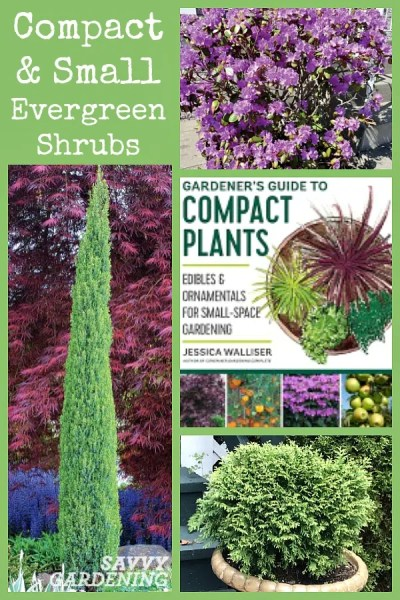 The best compact evergreens for the landscape.