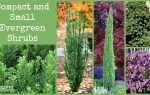 Small Evergreen Shrubs for Yards and Gardens
