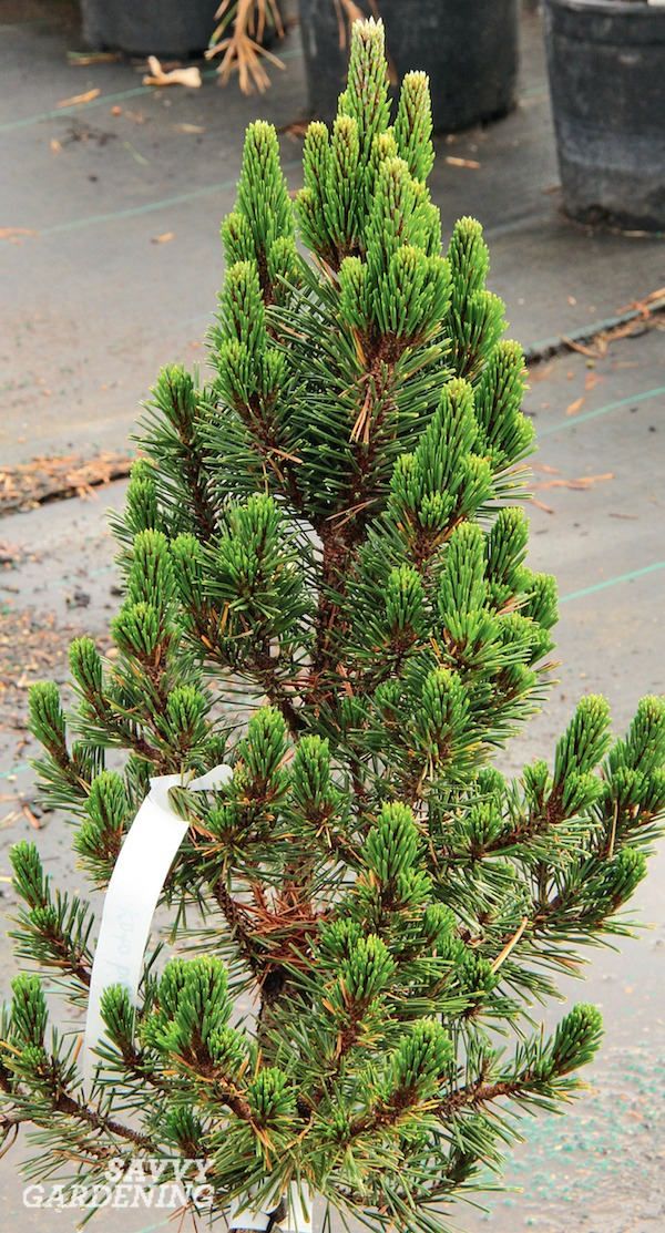 Small Evergreen Shrubs For Year Round Interest In Yards