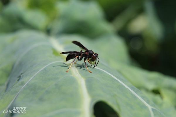 Paper wasp controlling pest caterpillar