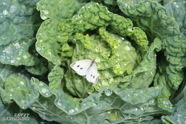 Female cabbage butterfly laying eggs.