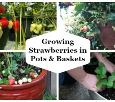 Growing strawberries in pots and baskets is a fun and easy way to enjoy a homegrown harvest of juicy berries