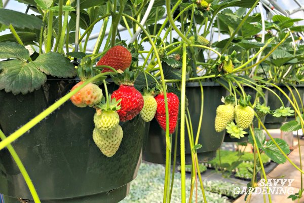 Hanging baskets are a convenient way to enjoy homegrown berries.