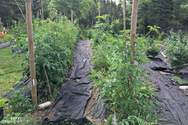 Encourage a healthy tomato garden by mulching your plants.