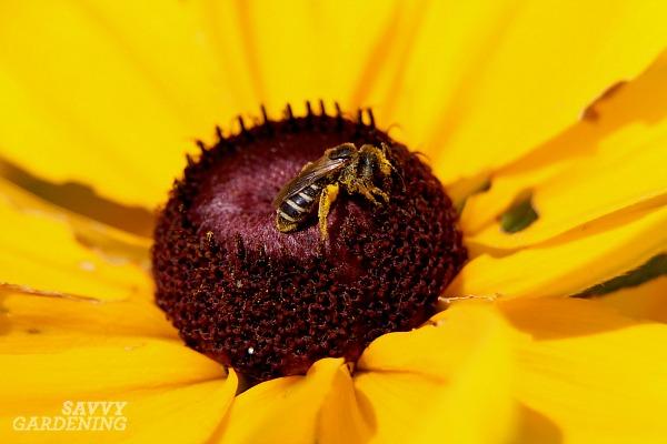 Members of the genus Halictus are prevalent pollinators in gardens.