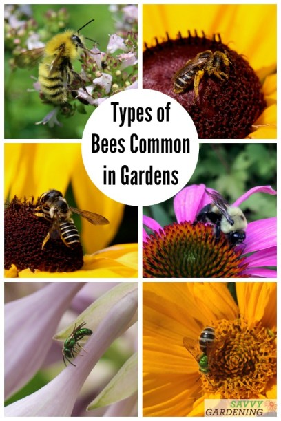 Discover how to tell one bee species from another in this beautifully illustrated article on many different types of bees common in yards and gardens. #pollinatorgardening #gardening #pollinators