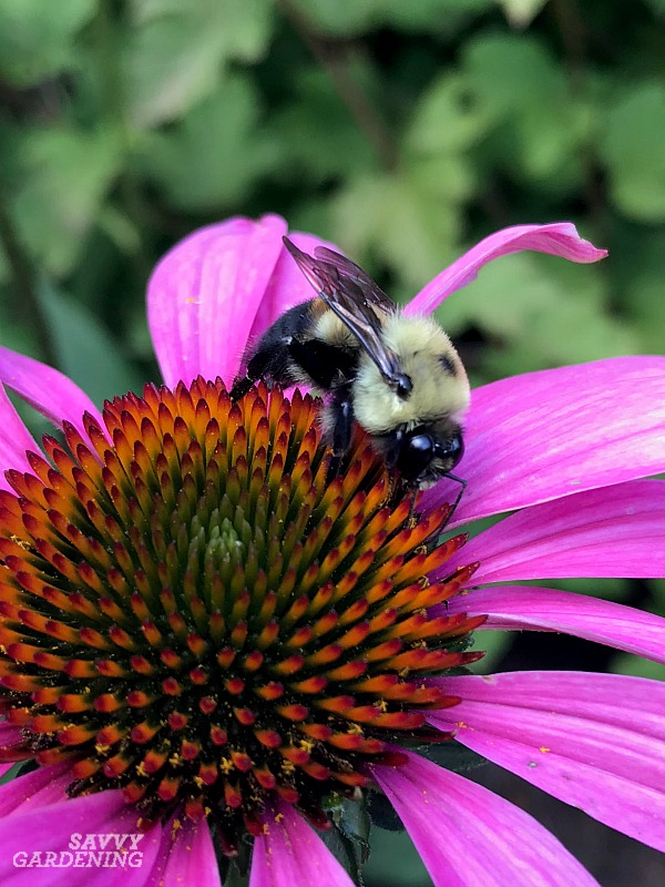There are 50 types of bumble bees in North America.