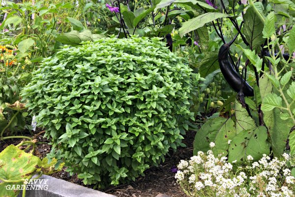 The round form and small leaves of Greek Basil have made it one of the more popular types to grow.