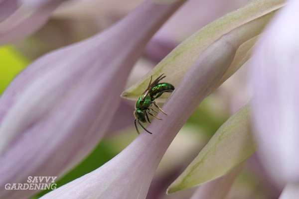 Green metallic sweat bees are among the most recognizable of our native bees.