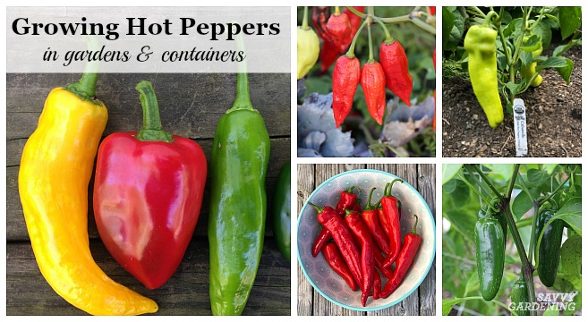 Learn about growing hot peppers in gardens and containers.