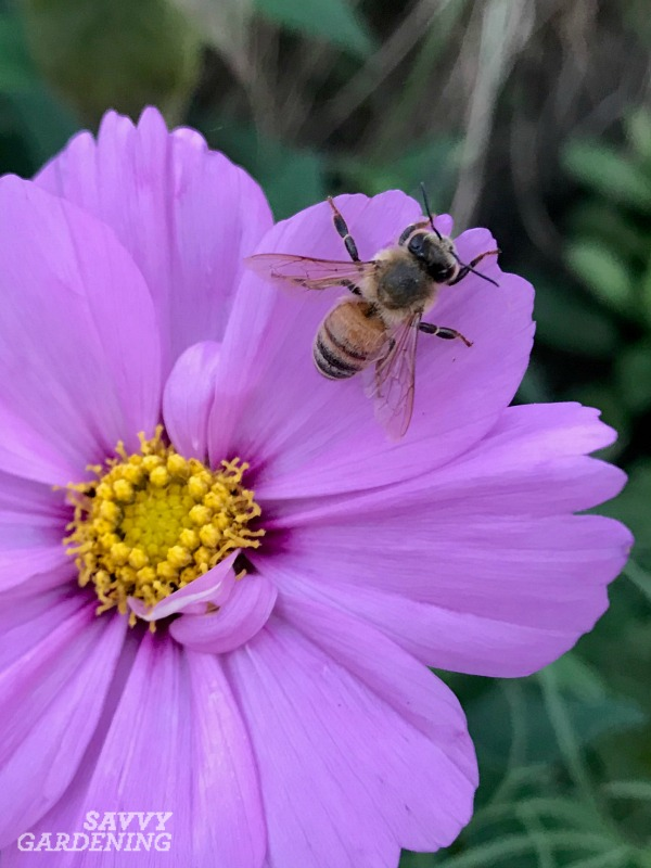 Honey bees are an introduced species, but there are about 4000 species of native bees in the US.