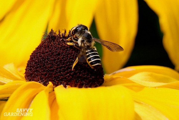Leaf cutter bees are a species of bees that use leaf pieces to line their nests.