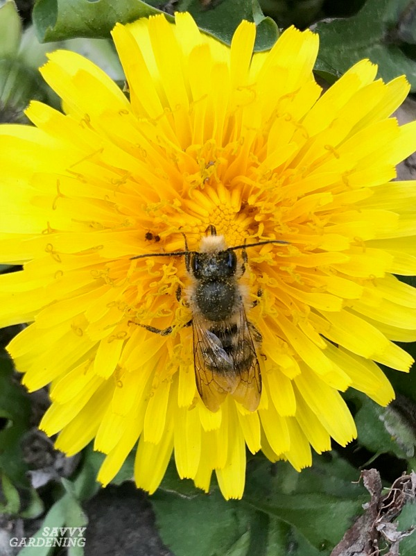 There are many pollinator species commonly found in gardens and yards.