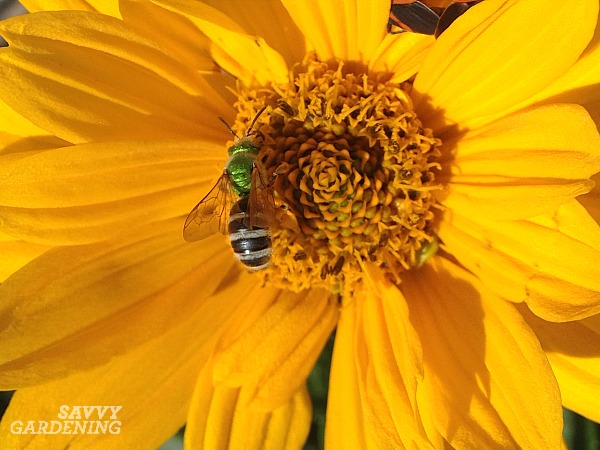 The striped abdomen of a green metallic pollinator makes it easy to distinguish from other common kinds of bees.