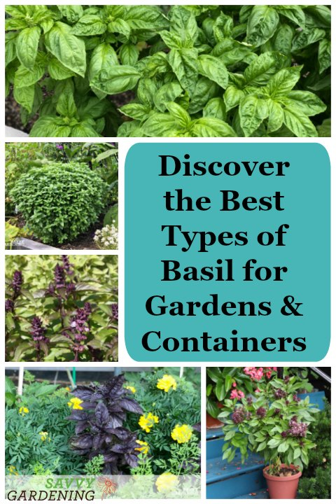 Discover the many types of basils you can grow in your gardens and containers.