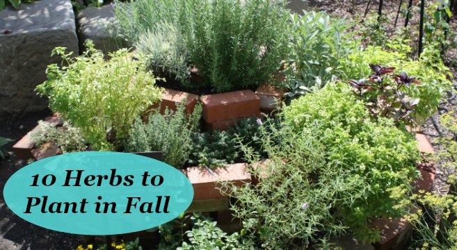 10 Herbs To Plant In Fall For Gardens And Containers