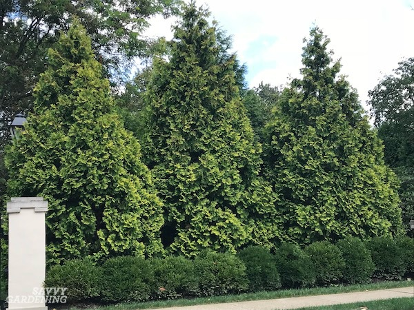 The best trees for screening out noise and neighbors are low maintenance evergreens.