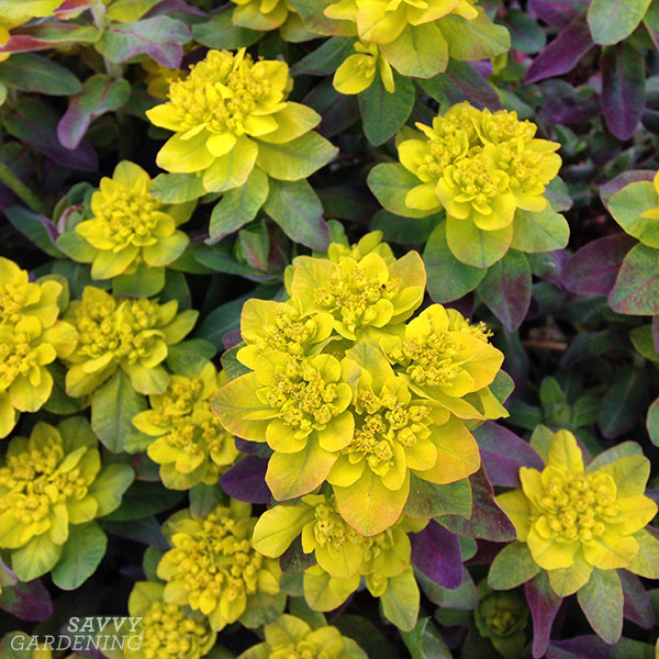 'Bonfire' spurge (Euphorbia polychroma 'Bonfire') lights up my garden in early spring.