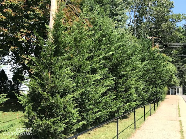 Leyland cypress are among the best trees for privacy screening.