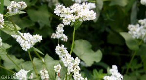 cover crops for raised beds include buckwheat