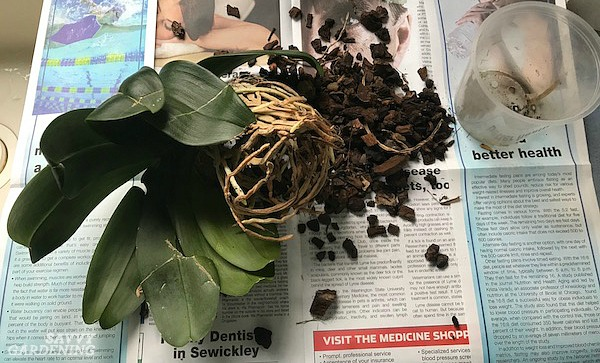 Step by step orchid repotting method
