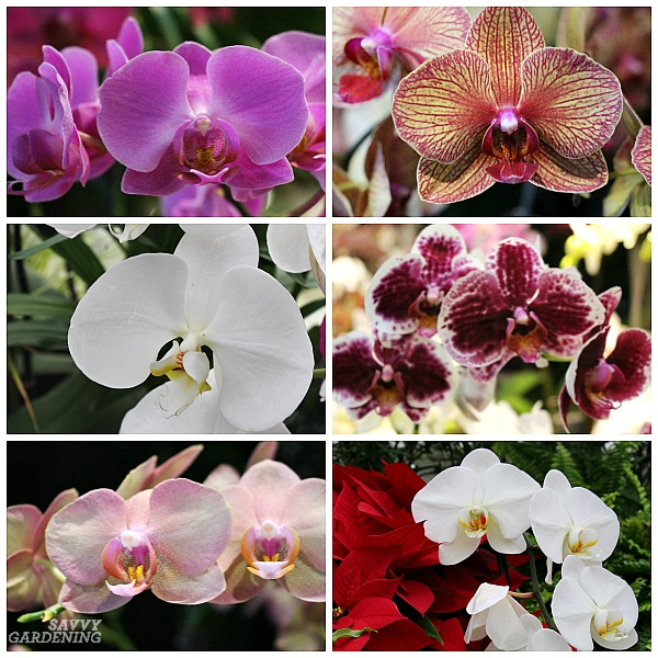 Tips for repotting Phalaenopsis orchids