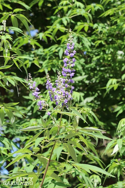 Vitex, or the chaste tree, is an excellent addition to southern landscapes