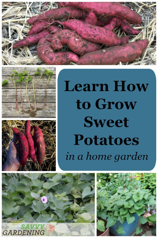 It's easy to grow sweet potatoes in a home garden.