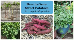 Learn how to grow sweet potatoes in a. home garden