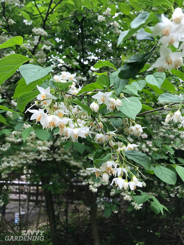 Japanese snowbell blossoms fall to the ground like snow after flowering.