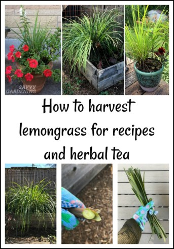 How to harvest lemongrass for recipes and herbal teas
