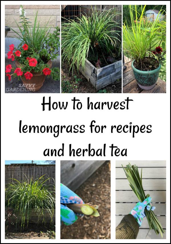 How to harvest lemongrass for recipes and herbal teas