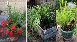 how to harvest lemongrass