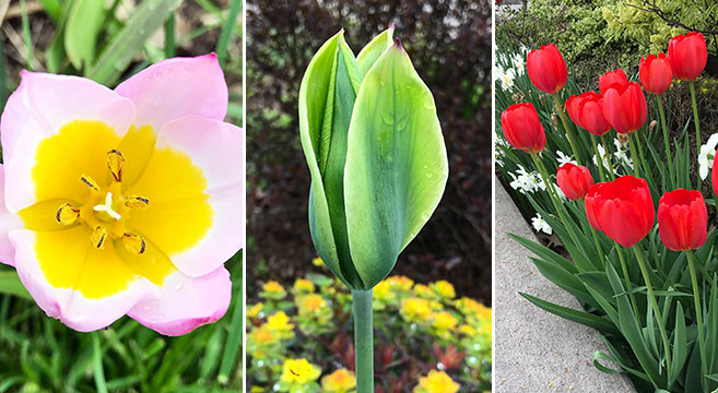 Plant perennial tulips