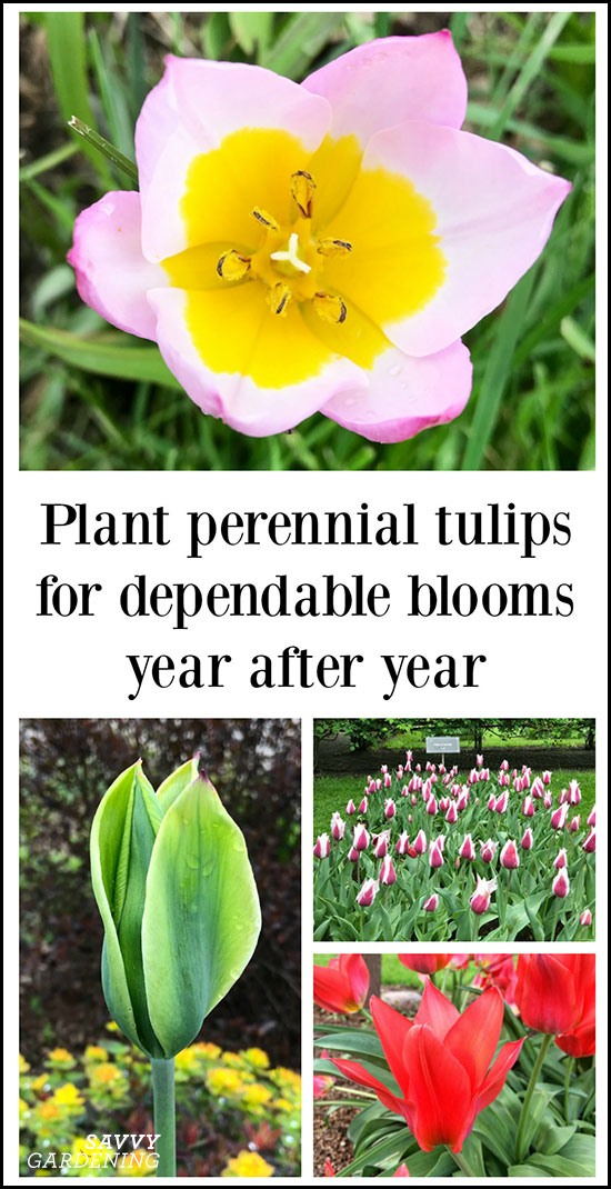 Plant perennial tulips for dependable blooms year after year