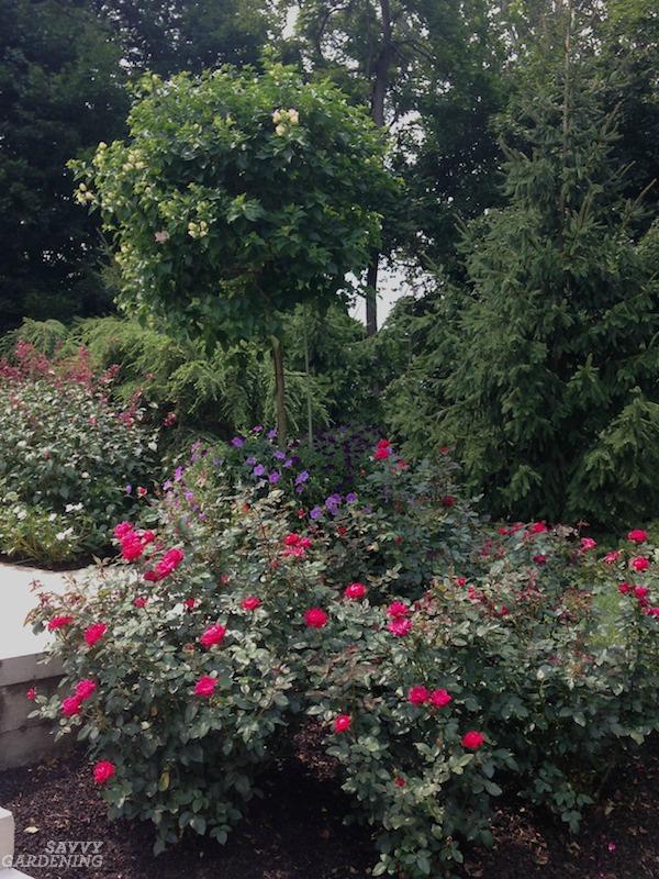 Healthy rose plants
