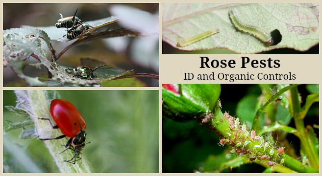 Different pests that eat rose plants