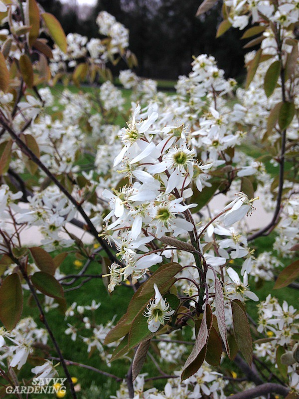 Serviceberry tree flowers are favorites of pollinators in early spring.