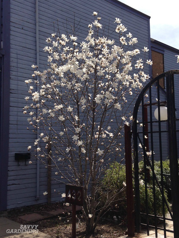 Star magnolias are stunning flowering trees in the spring.