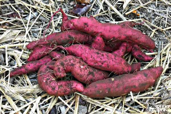 Learn how to plant, grow and harvest sweet potatoes