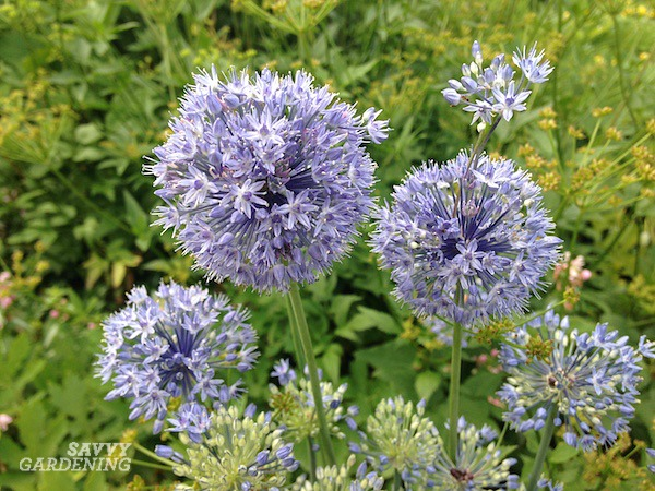 Allium caeruleum in a garden bed