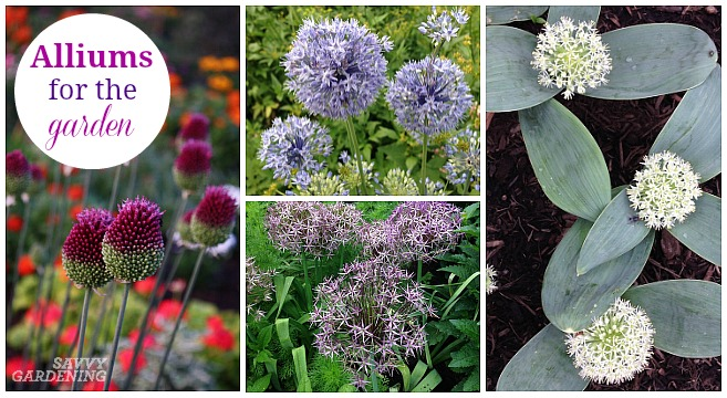 Different types of allium bulbs for the garden