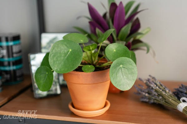 Chinese money plants are low maintenance houseplants.