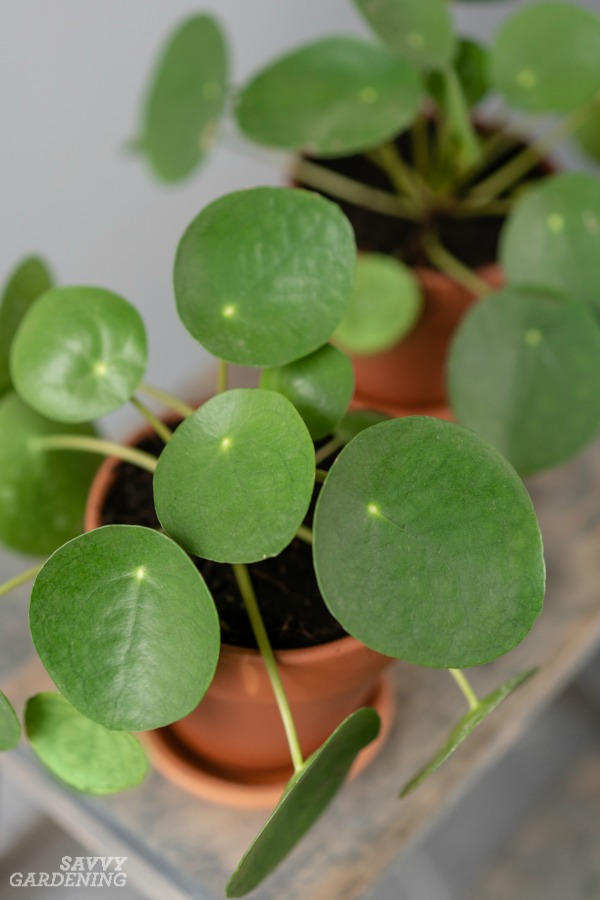 Pileas are low-maintenance houseplants.